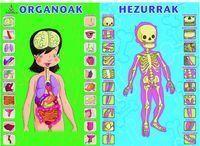 HORMA-IRUDIA - ORGANOAK ETA HEZURRAK